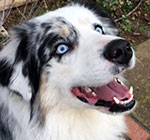 Cordon Bleu's photo on the Aussie Rescue website. Who wouldn't love a face like that?